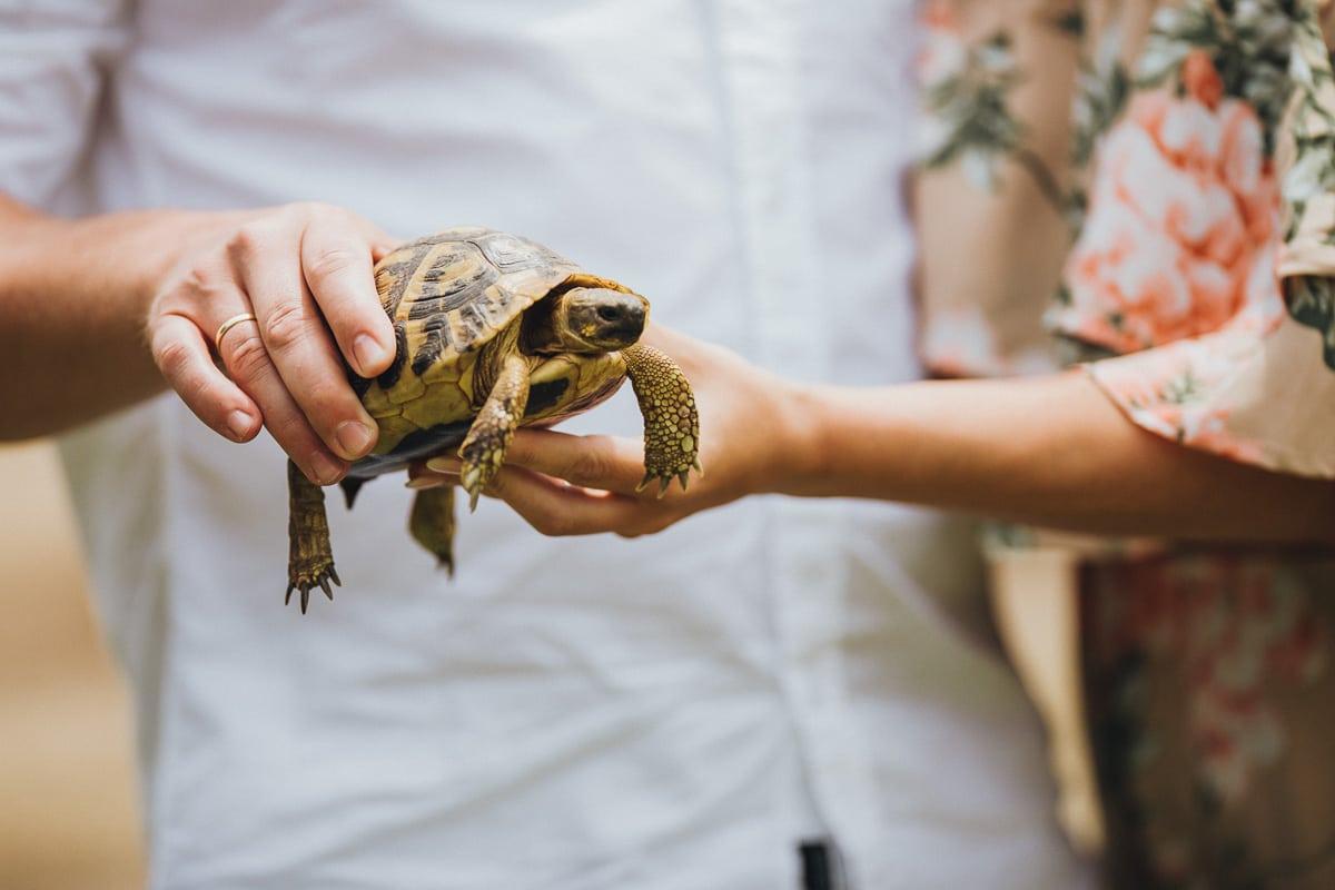 Nahaufnahme der kleinen Schildkröte in den Händen des Paares.