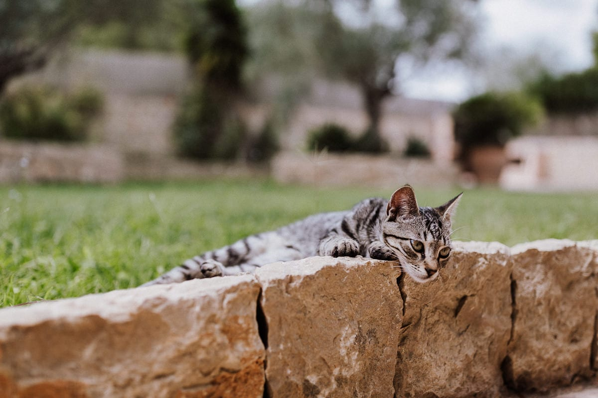 Süsse faulenzende Katze auf der Hochzeitsfinca Son Burgues